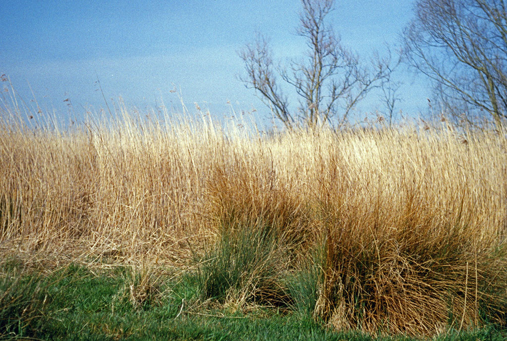 Water reed bed