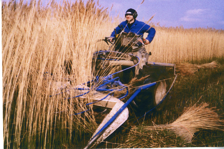 norfolk reed harvest