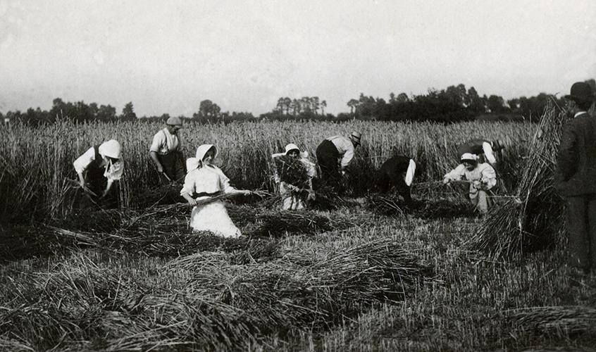 wheat harvst