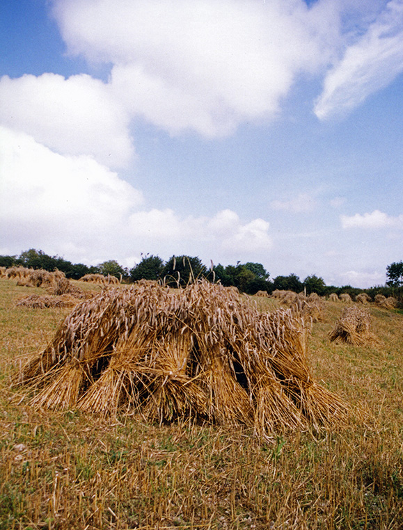 stooked sheaves for thatch